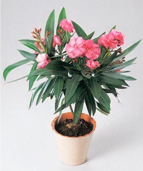 Олеандр. Древесина и сок олеандра ядовиты. Учитывая сильный аромат цветов олеандра, не стоит держать его в спальне во время обильного цветения.