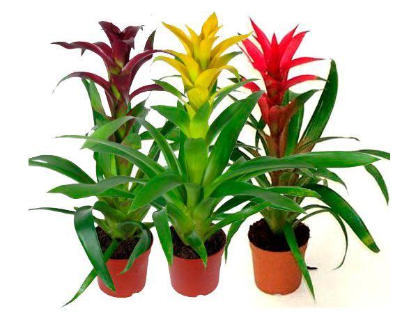 Экзотический цветок в горшке – беспроигрышный вариант, так как практически любая женщина любит цветы, но приобретение подобного растения всегда ставит в конец списка необходимых покупок.