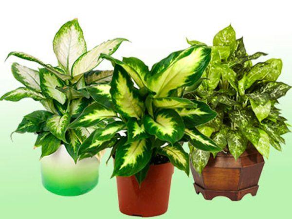 Да-да, не удивляйтесь. Ядовитая диффенбахия также имеет полезные свойства. Главное лекарственное назначение этого растения — очищение жилых комнат от токсинов. Оно незаменимо в комнатах, окна которых выходят на крупные автострады или заводы.
