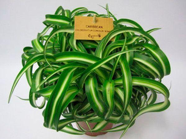 Хлорофитум ослабляет воздействие вредных кислот на действие человеческого организма. Очистительные свойства этого растения будут сильнее, если в цветочные горшки положить активированный уголь.