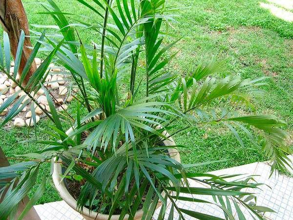 Хамедорея способна поглощать различные ядовитые вещества, содержащиеся в воздухе. Особенно полезно будет это комнатное растение в домах, расположенных рядом с оживленными автодорогами.