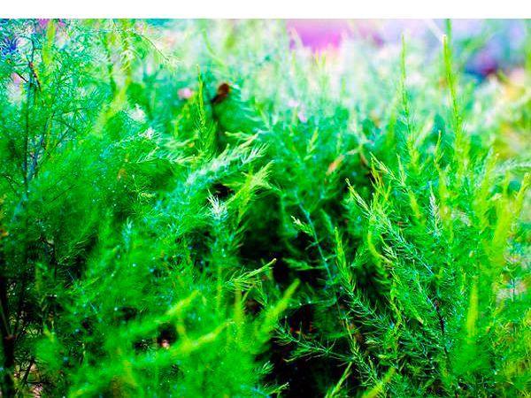 Аспарагус – очень полезное растение с интересными листьями. Он выделяет особые вещества, которые способствуют успешному и быстрому заживлению поврежденных тканей и переломов костей, повышает эластичность кожных покровов.
