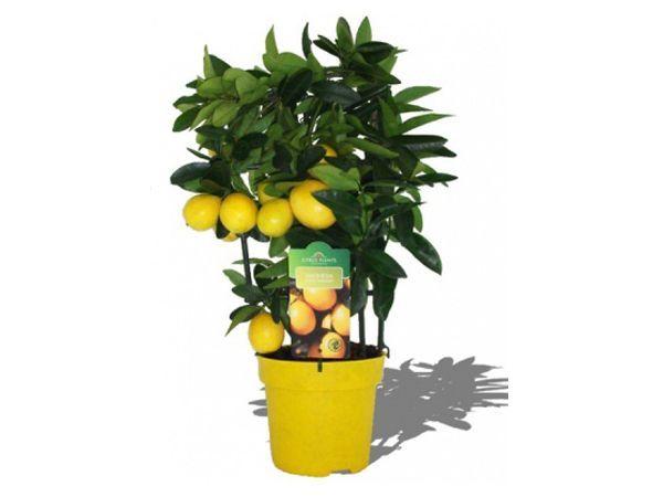 В комнате, где располагается лимон, в несколько раз снижается скорость размножения болезнетворных бактерий, а в непосредственной близости от растения –  они и вовсе перестают размножаться.