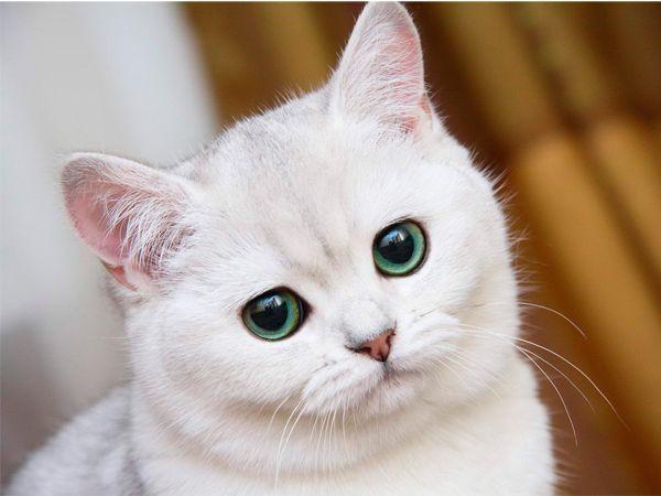 Даже ваши кошки могут извлечь выгоду из оливкового масла! В зависимости от размера кошки, давайте ей 1/4-1/2 чайной ложки оливкового масла, чтобы предотвратить комки в шерсти.