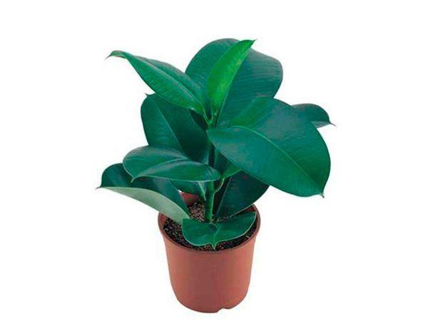 Если иногда протирать листья фикуса молоком (как вариант – молочной сывороткой), листья не только обретают блеск, но и весь фикус начинает лучше расти.
