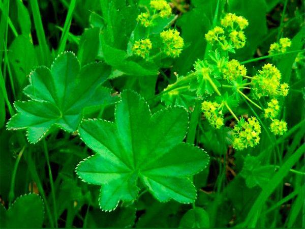 Хорошо помогает при целлюлите настой листьев манжетки обыкновенной. Его необходимо пить 4 раза в день до еды по четверти стакана.