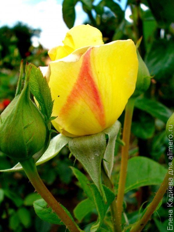 Розы Миллерово